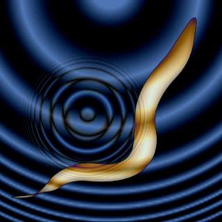 연구팀은 초음파를 이용해 예쁜꼬마선충의 신경세포를 조종하는 데 성공했다. - 솔크연구소 제공